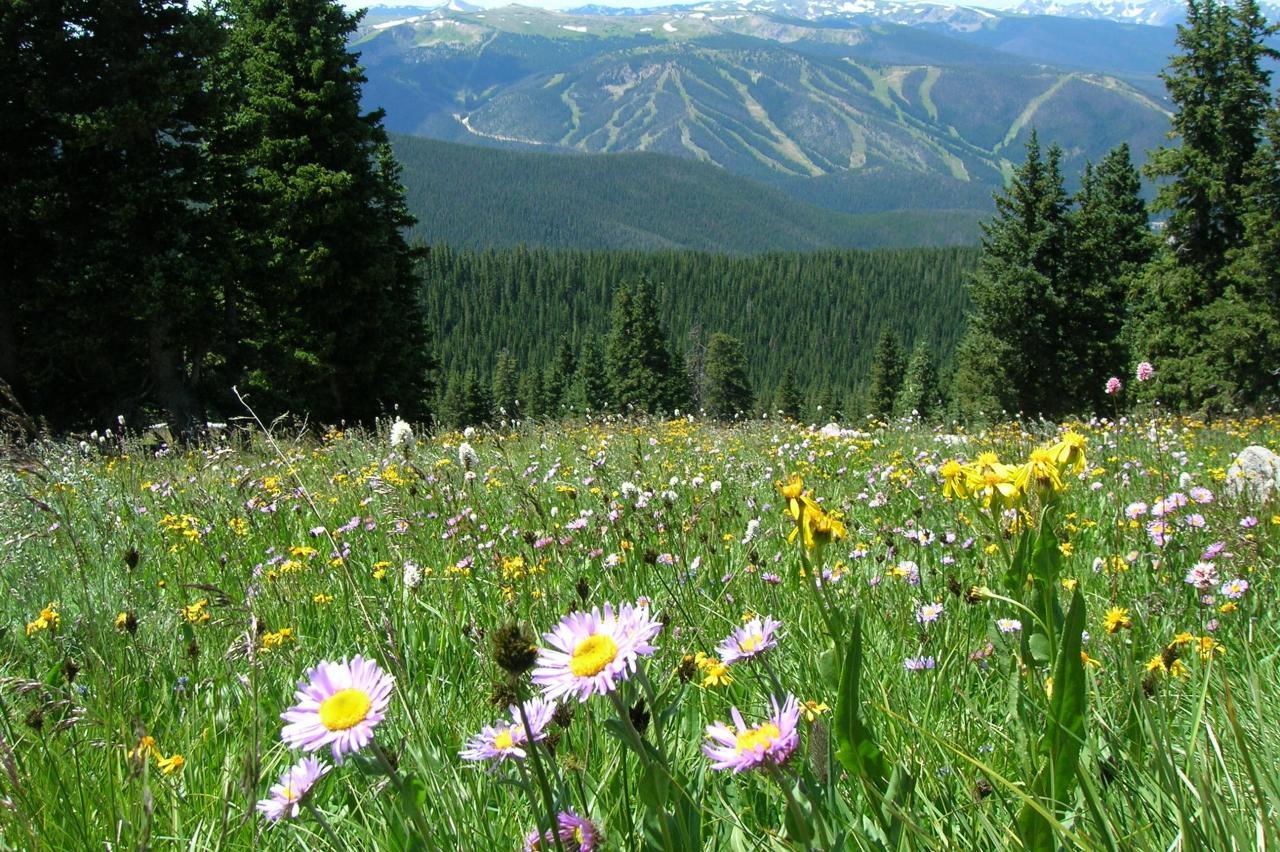 Wildflower meadow in Winter Park, Colorado