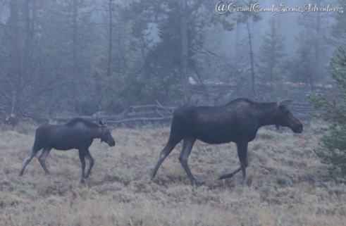 Grand County Scenic Adventures LLC - moose