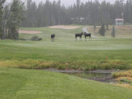 Moose on the golf course