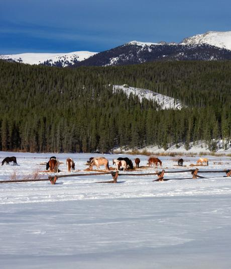 Horses in a snow covered meadow in Winter Park, Colorado