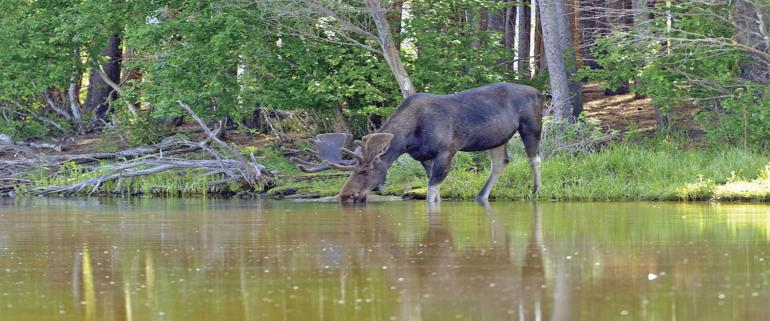 Moose drinking in the river